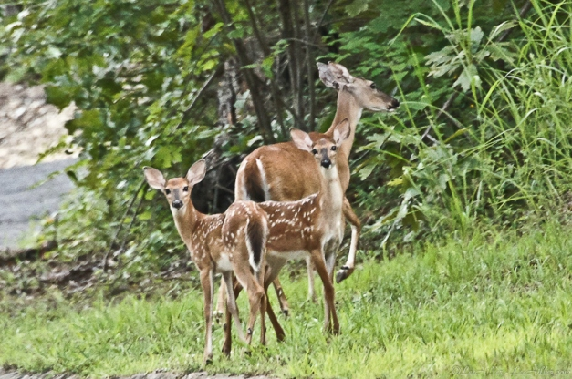 Whitetail Does and Fawns