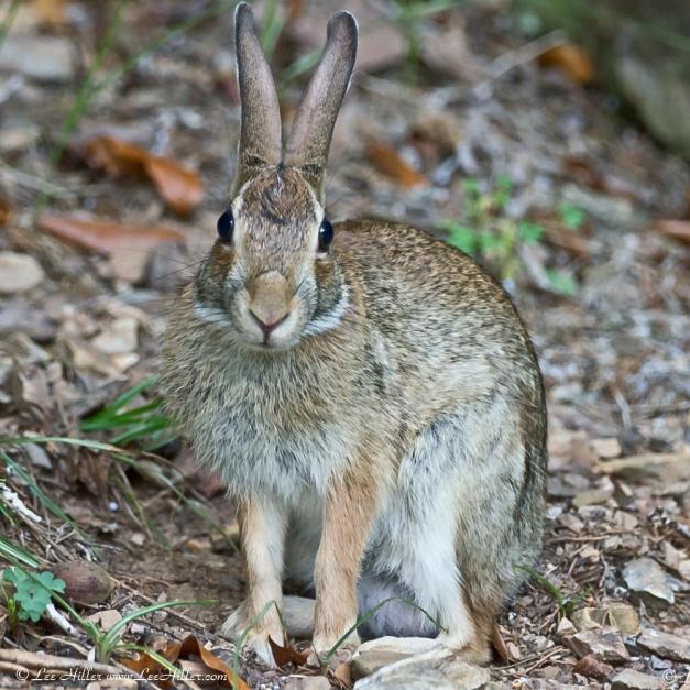 Eastern Cottontail Rabbit Hot Springs National Park, Arkansas