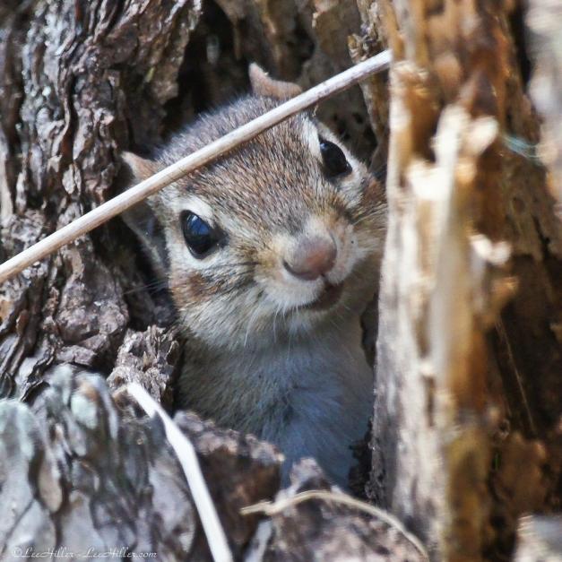 Earthlings - Chipmunk peeking out from stump