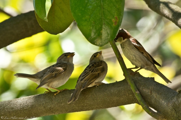 Breakfast Time with a House Sparrow Family