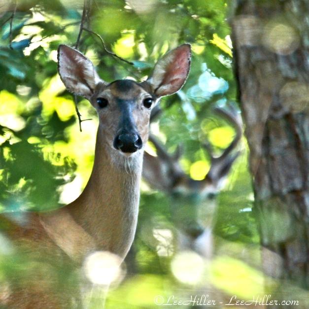 Whitetail Deer Photobomb