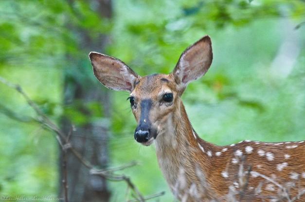 Whitetail Deer Fawn Hot Springs National Park, Arkansas