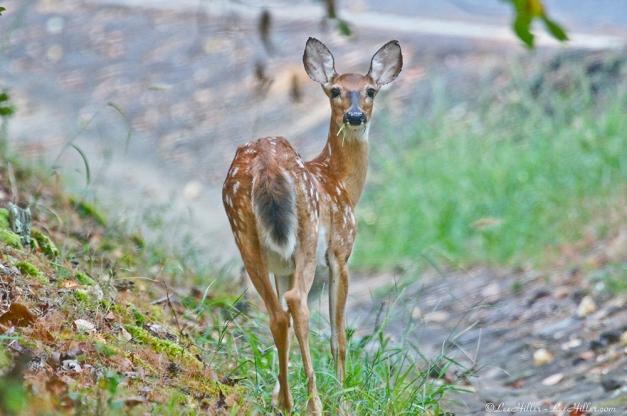 Whitetail Deer Fawn Eating Breakfast