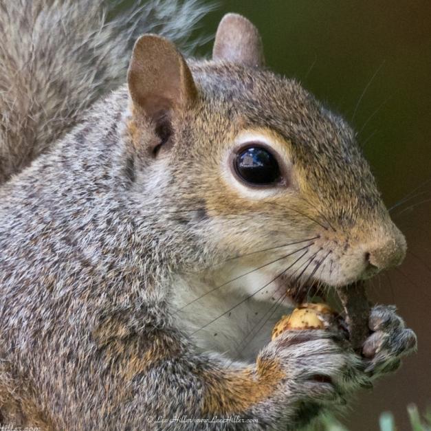 Squirrel Peeling Nut